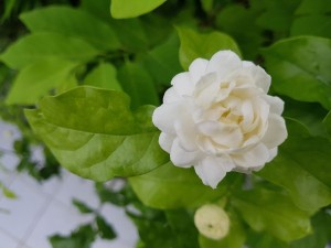 "Jasminum sambac ""Grand Duke of Tuscany""-AVAILABLE FOR PREORDER - Product Image"
