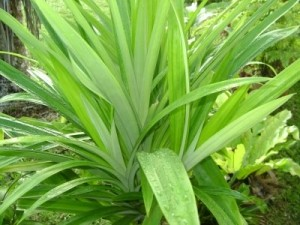 Pandan - 'Pandanus amaryllifolius' OUT OF STOCK TILL 2020! - Product Image