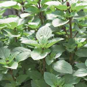 Persian Basil (Reyhan)-NEW FOR 2020! - Product Image