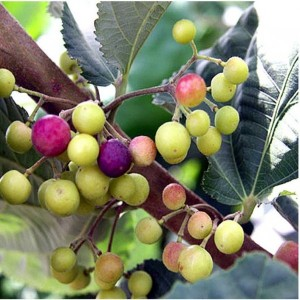Phalsa plant - NEW FOR 2019! - Product Image