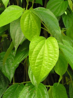 "Piper betel plant ""Paan Leaf""-ON SALE! - Product Image"