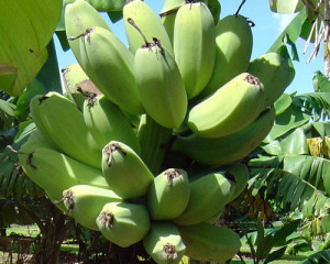 "Plantain ""Cardaba"" TEMPORARILY SOLD OUT! - Product Image"