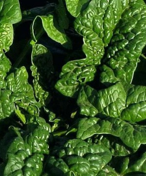 Spinach- Long Standing Bloomsdale - Product Image