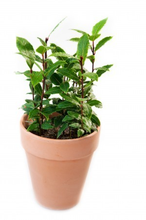 Sweet Bay (Bay leaf plant)-OUT OF STOCK TILL MAY 2021! - Product Image