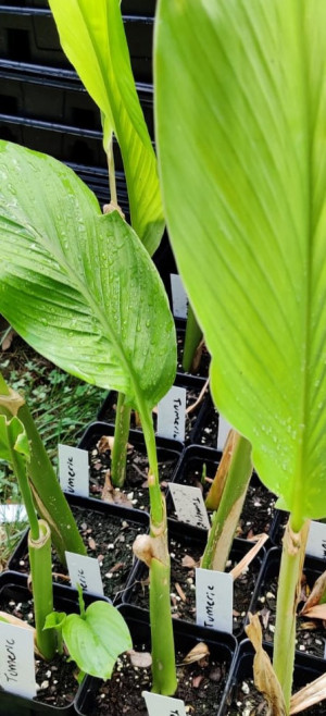Turmeric plant in pot - Product Image