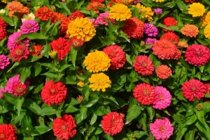 Zinnia-California Giants Mixed Colors