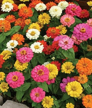 Zinnia-Thumbelina NEW FOR 2018